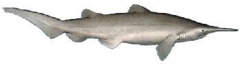 Tubarão Duende | Características Gerais do Tubarão Duende (Mitsukurina owstoni)