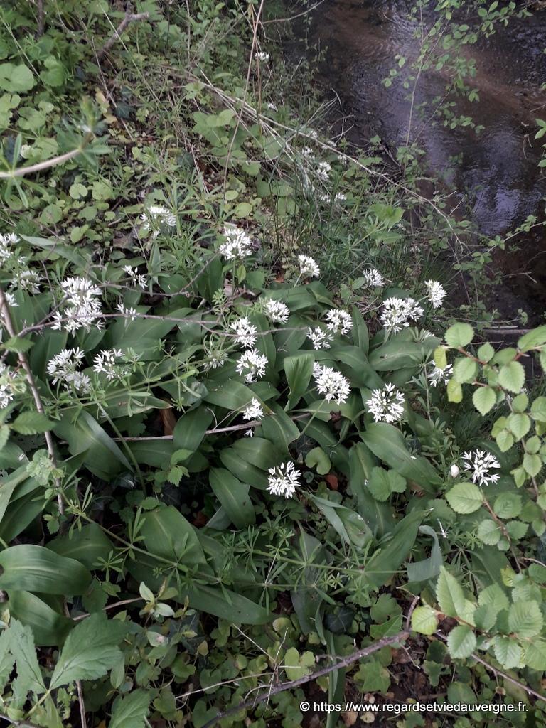 Lail des ours, une plante pour agrémenter certaines