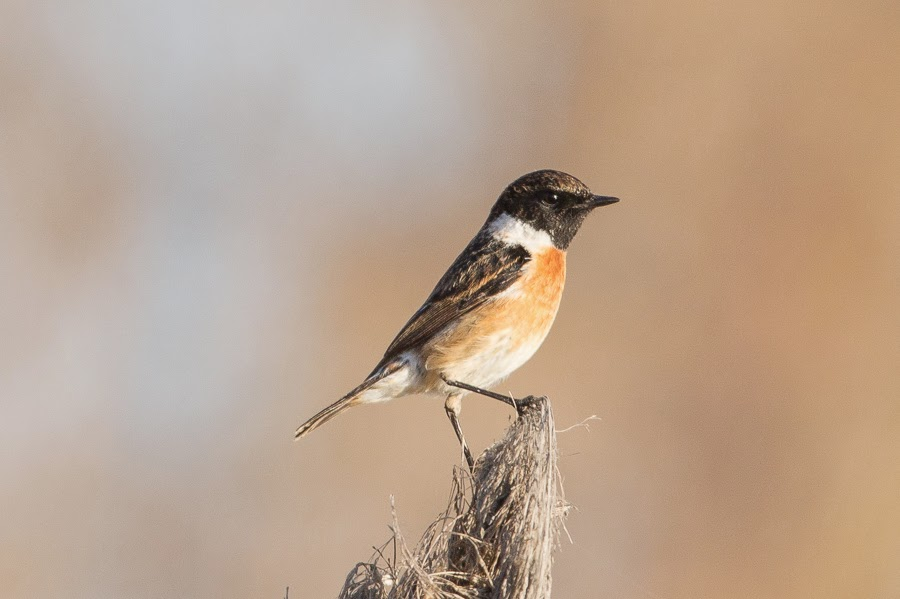 SCT Stonechat - male