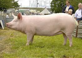 Pig In Hindi