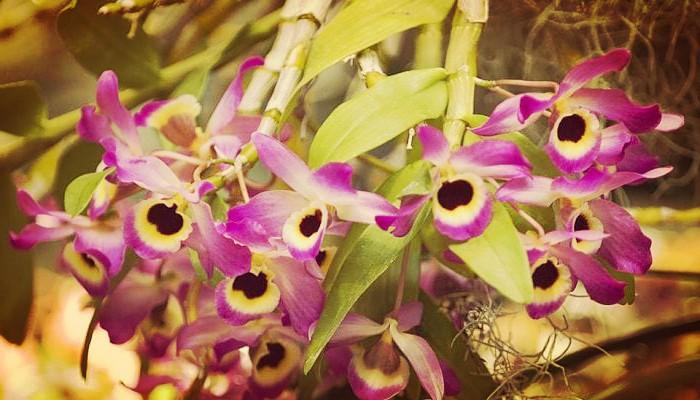 Orquídeas y sus tipos