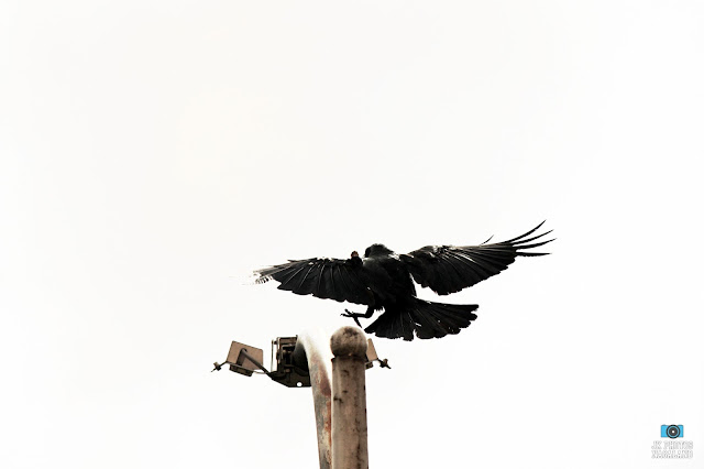 crow-perching-lamp-post-pune