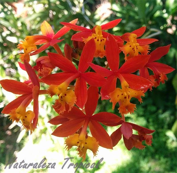 Variedad roja-amarilla de una flor orquídea terrestre