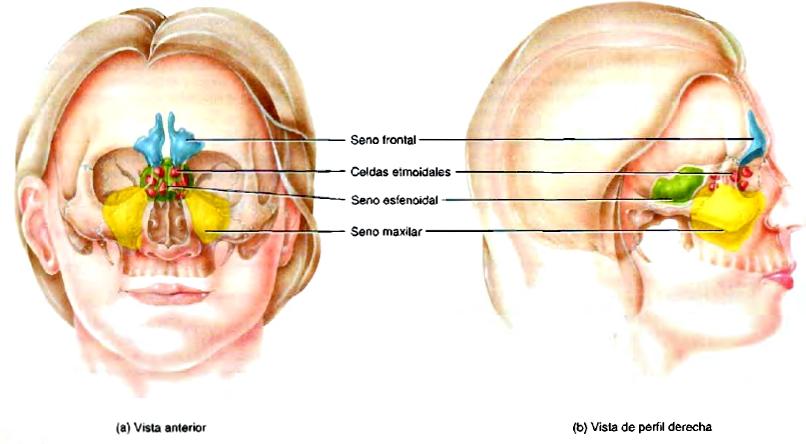 Anatomía del cráneo