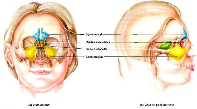 Anatomía cráneo senos paranasales