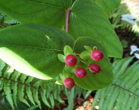 bayas del hipérico arbustivo silvestre