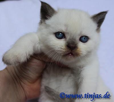 Britisch Kurzhaar Katzenbaby aus der Tinjas Zucht