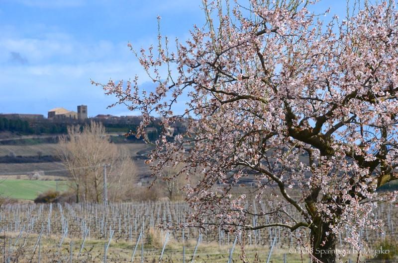 北スペインリオハのぶどう畑とピンク色のアーモンドの花
