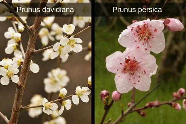 Imagen de las flores de Prunus davidiana y Prunus persica