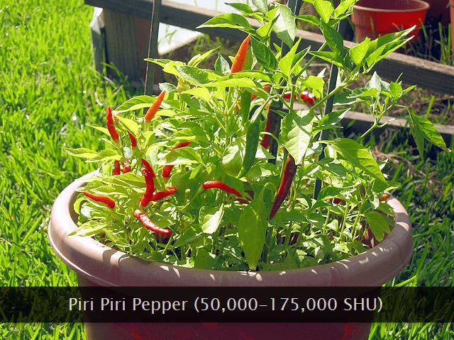 Piri piri chili pepper
