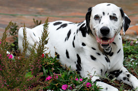 Smiling Dalmatian dog lying on top of garden plants