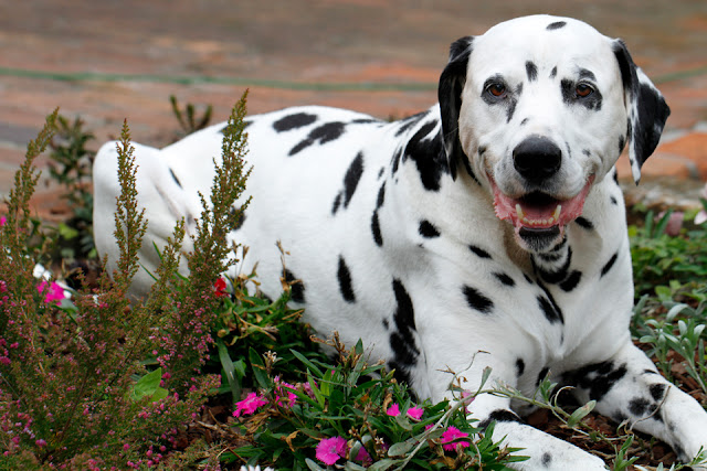 Smiling Dalmatian dog lying on top of garden plants