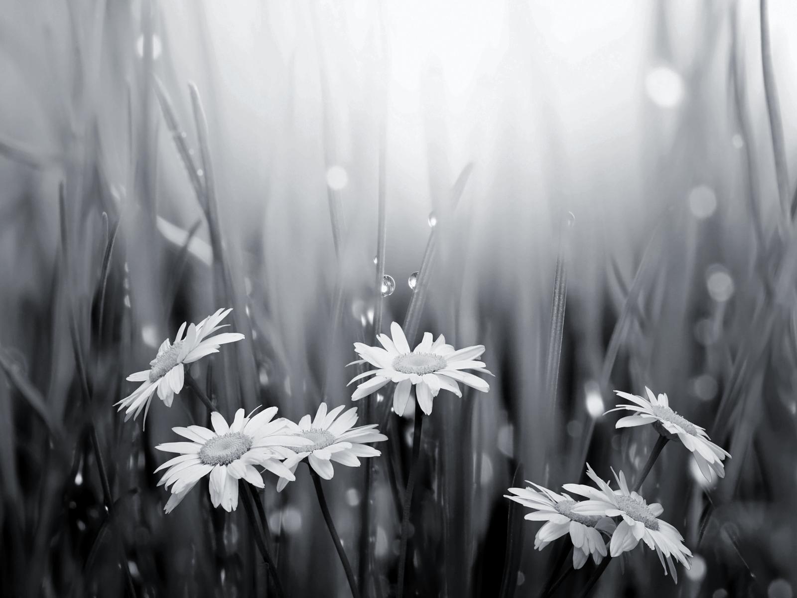 Raindrops Falling On Flowers Wallpaper Black And White Daisies And Raindrops Wallpaper Happy
