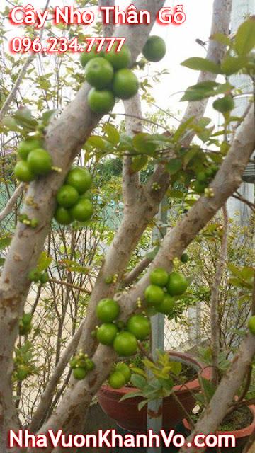 Cách trồng và chăm sóc cây nho thân gỗ
