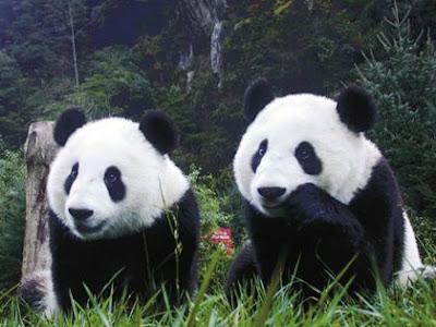Hermosa fotografias imagenes de dos osos panda