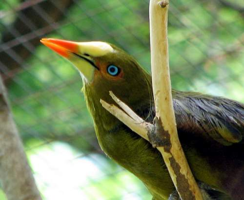 Birds of South America - Image of Green oropendola - Psarocolius viridis