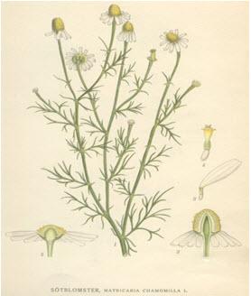 Matricaria pubescens