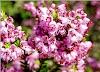 Φθινοπωρινό Ρείκι : Μια θαυματουργή ανθοφορία για τα μελίσσια μας!