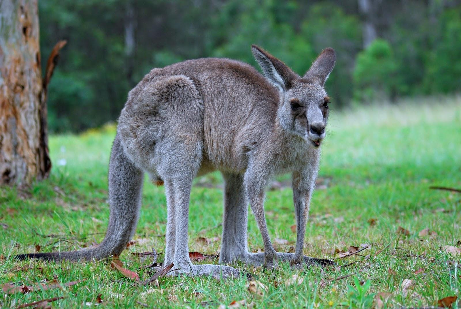 Kangarro