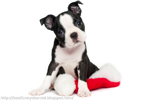 Very funny Christmas puppy.