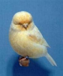 Suara Norwich Canary