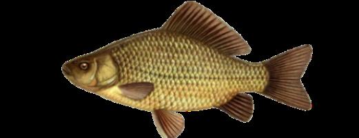 Виды речных и озерных рыб (Карась)