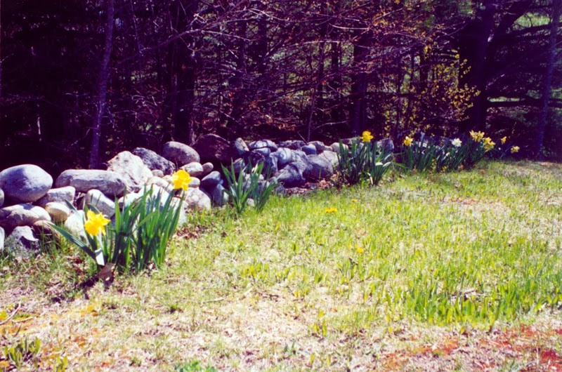 Daffodils and rock wall