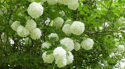 Schneeballblüte im Mai