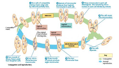 Siklus hidup Paramaecium