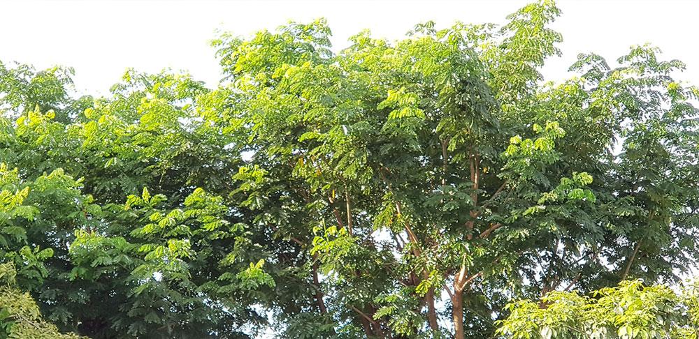 ต้นก้ามปู