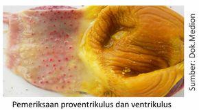 pemeriksaan proventrikulus dan ventrikulus unggas/ayam