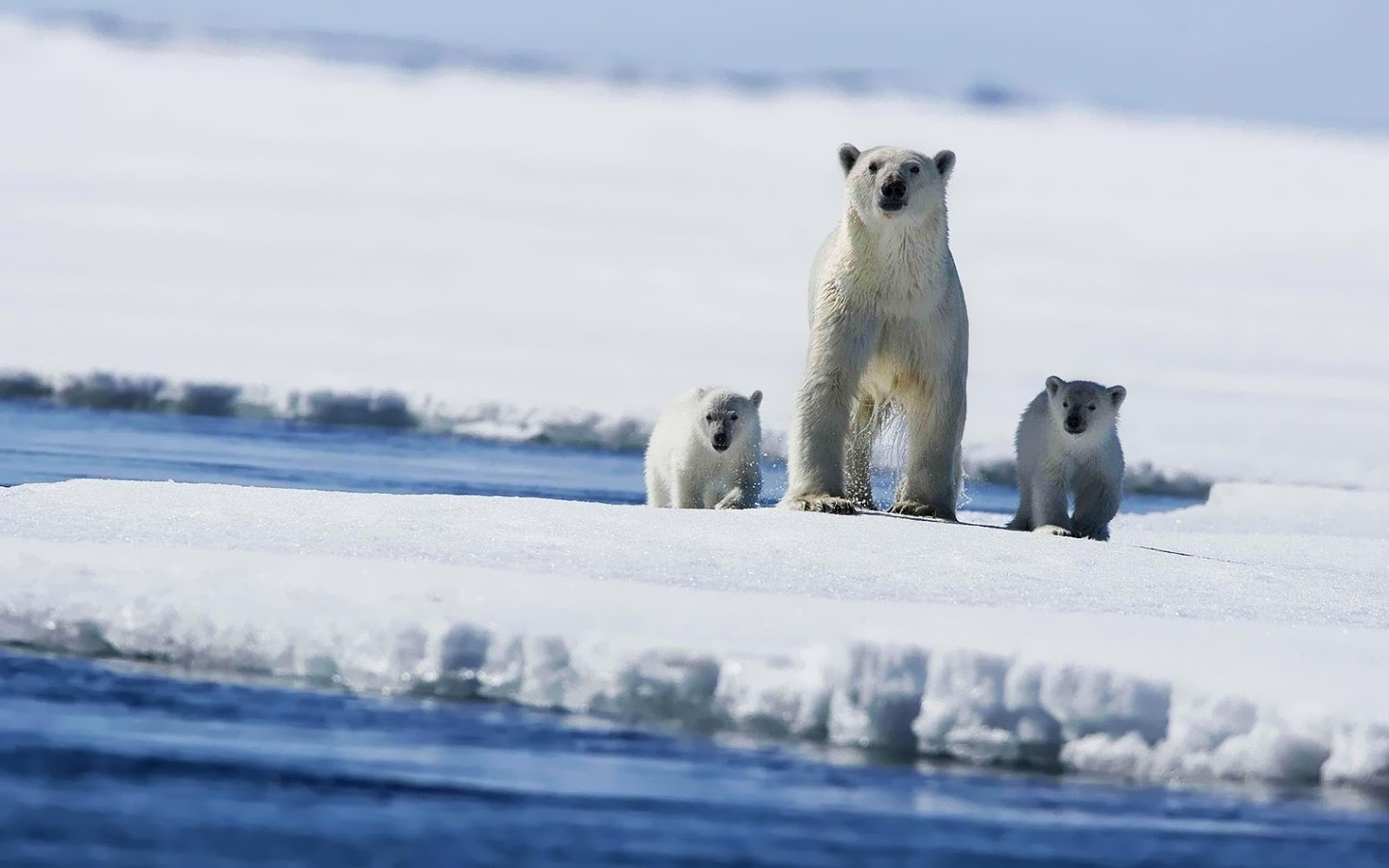 Global Pictures Gallery: Polar Bears