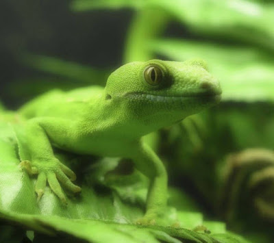green lizard macro hd mobile resolution wallpaper