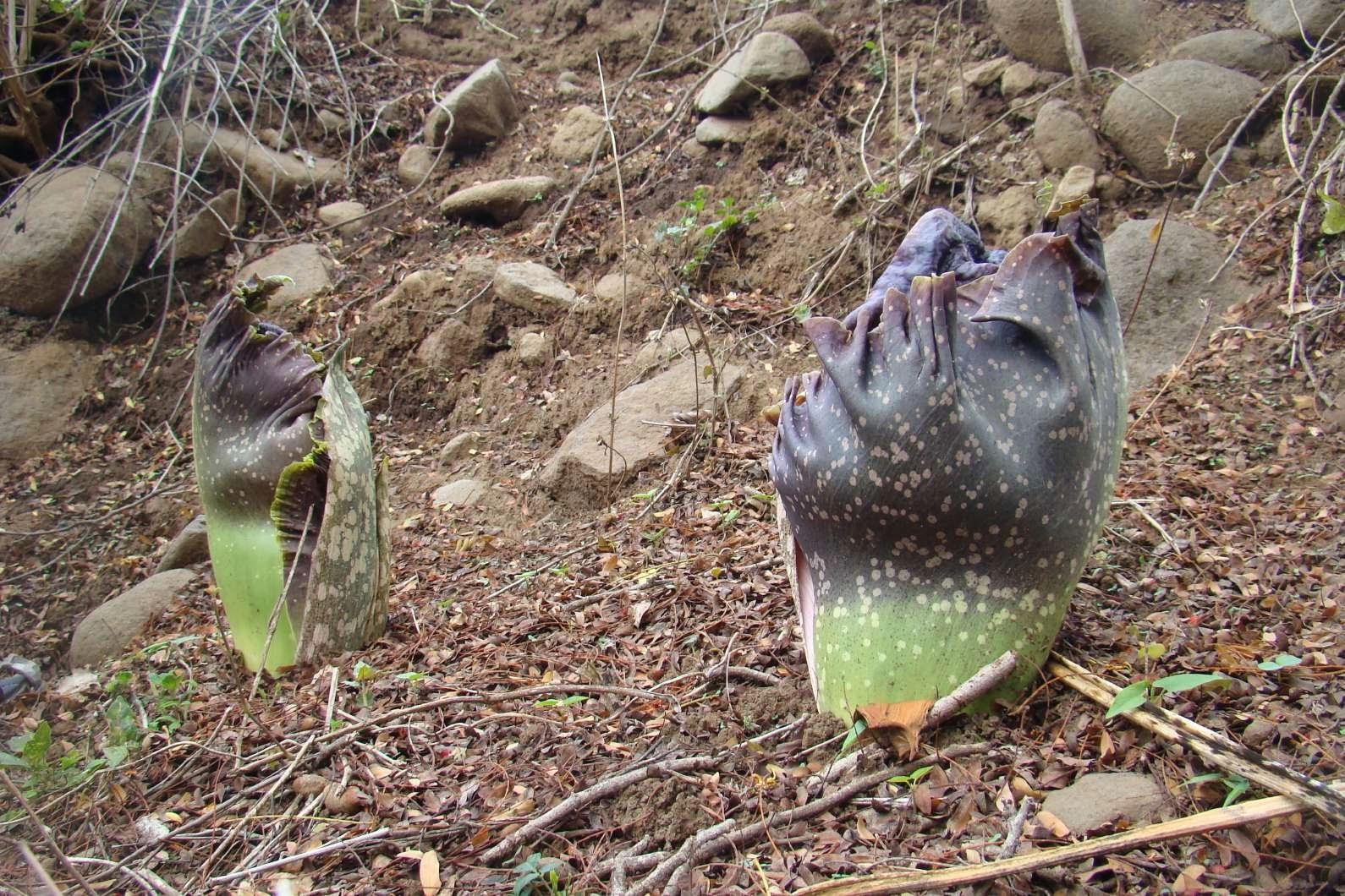 Inhame Elefante (Paeoniifolius Amorphophallus)