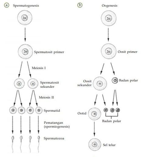Reproduksi sel pustaka belajar a spermatogenesis menghasilkan empat buah spermatozoab pada peristiwa oogenesis akan dihasilkan satu buah sel telur ccuart Choice Image
