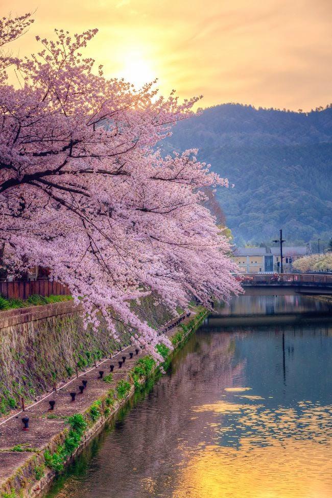 Festival Blossom Cherry 2013 Japan Tokyo