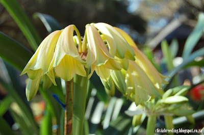 Natal yellow X C.gardenii var.Golden Renaissance