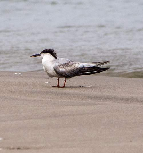 Indian birds - Photo of White-cheeked tern - Sterna repressa