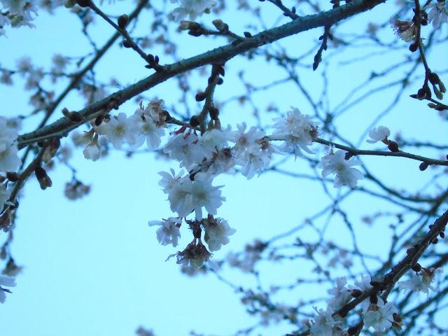 Ciliegio Invernale Prunus subhirtella