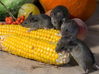 Cara Ampuh Mengatasi Hama Tikus Pada Tanaman Jagung