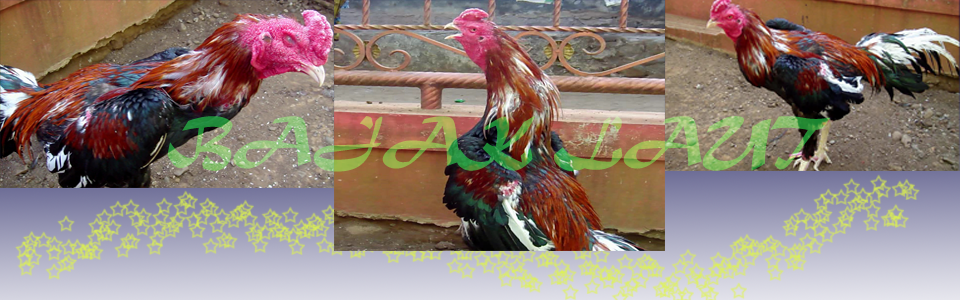 Cara Mengobati Penyakit Bubul Pada Kaki Ayam Rooster