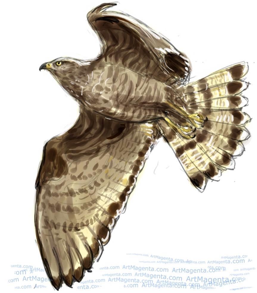 Honey Buzzard sketch painting. Bird art drawing by illustrator Artmagenta