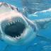 Καρχαρίας τίγρης και σφυροκέφαλος καρχαρίας σε μία επική μάχη (video+photo)