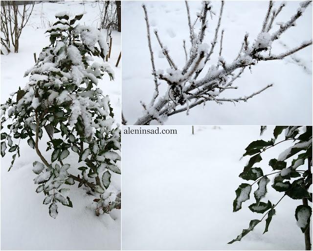 магония, в снегу, зима, зимовка, аленин сад, январь