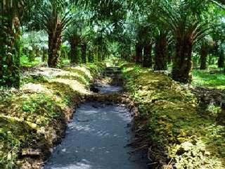 menanam-kelapa-sawit-rawa.jpg