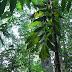 A árvore da zarabatana