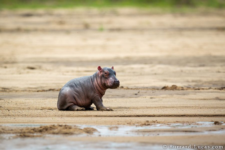 10. Baby Hippo by Will Burrard-Lucas