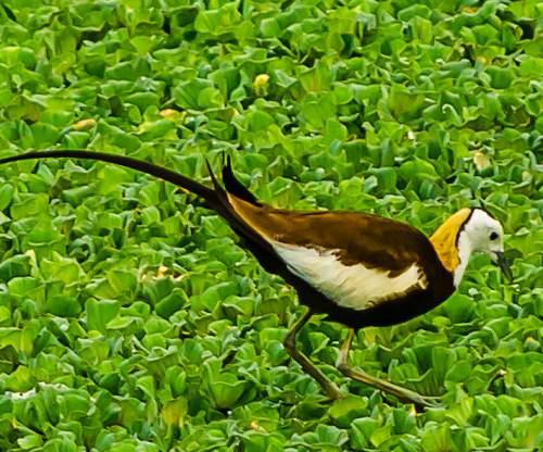 Pheasant-tailed jacana - Hydrophasianus chirurgus