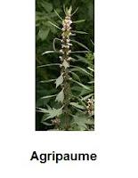 Agripaume plante utile au cœur