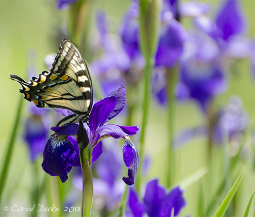 Purple Siberian Iris, Butterflies and Birds